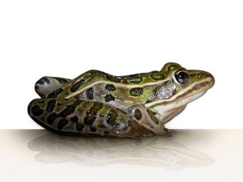 Frog Leopard Frog Amphibian Animal Isolated Green