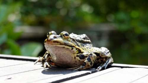 Frog Amphibian Green Pond Animal Croak Brutal