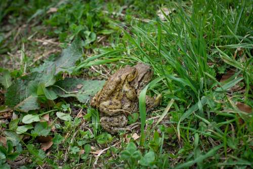 Frogs Toads Mating Season Pairing Mating