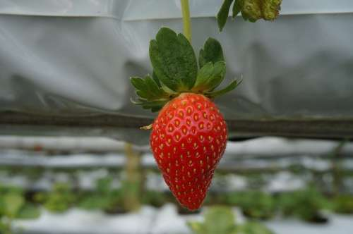 Fruit Strawberry Red Farm Plant