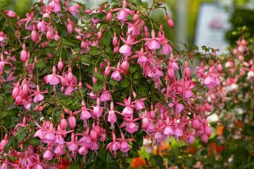 Fuchsia Flowers Pink Garden Fuchsia Flowers Shrub