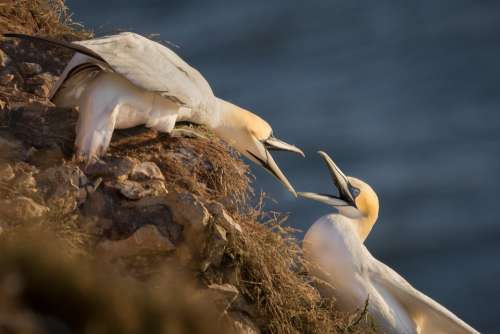 Gannet Birds Nature Sea Rock Wildlife Ocean