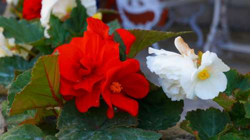 Garden Nature Plants Flowers Begonias White Red
