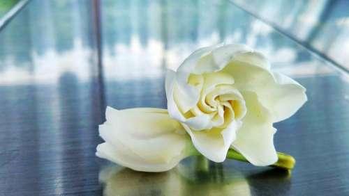 Gardenia Flower Plant White Fragrance Flowers