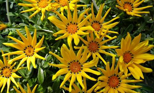 Gazanie Yellow Flowers Garden Spring Nature