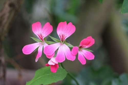 Geranium Flower Pink Spring Summer Pelargonium