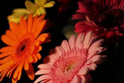 Gerbera Background Nature Macro Flower Flowers