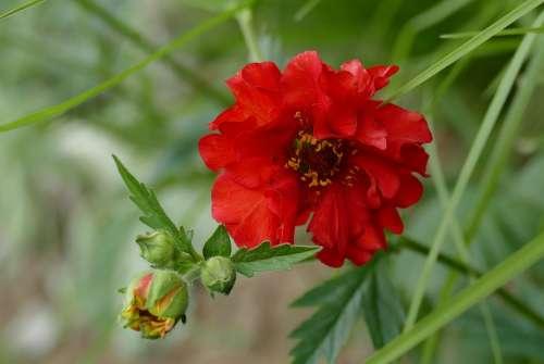 Geum Garden Blossom Bloom Plant Avens Red Spring