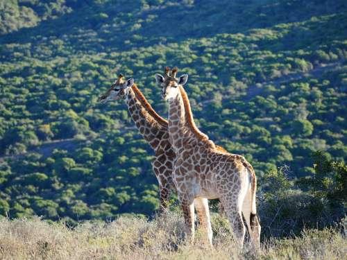 Giraffe Africa Safari Animal Giraffes Neck Wild
