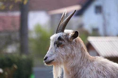 Goat Goats Zoo Petting Zoo Goatee Nature Cute