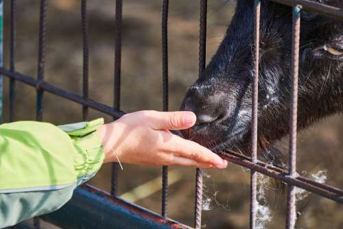 Goat Feeding Feed Child Hand Child'S Hand Sweet