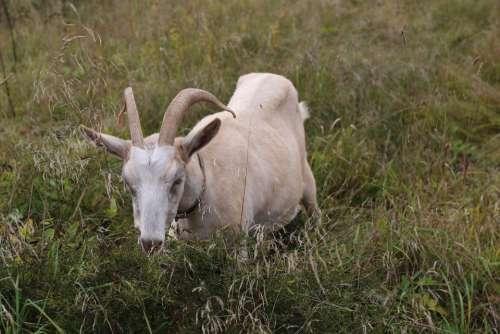 Goat Animal Grass Mammals Nature