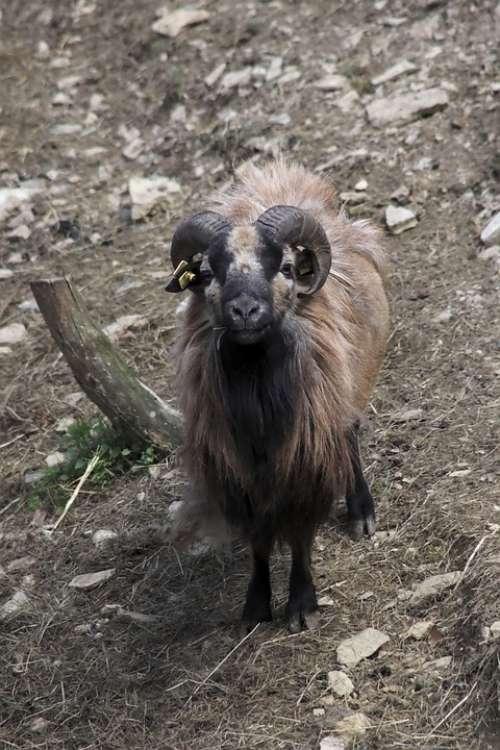 Goat Farm Livestock Agriculture Mammals