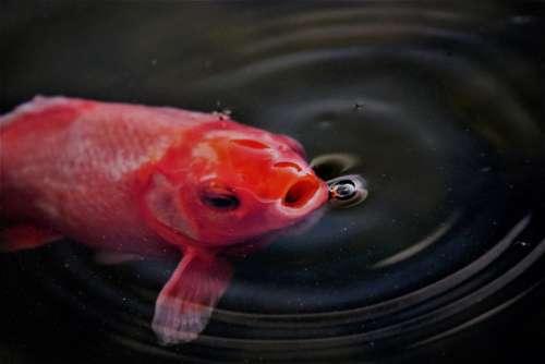 Goldfish Fish Pond Fish Mouth Water Animal Gold