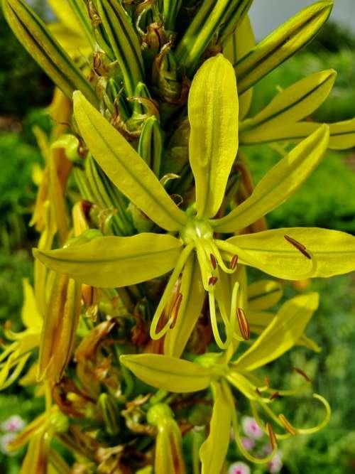 Goldwurz Asphodeline Lutea Junker Lily