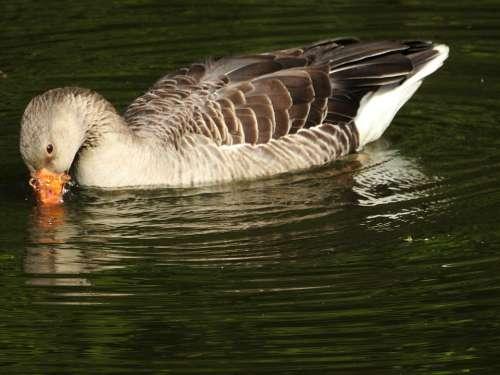 Goose Water Water Bird Plumage Nature Swim