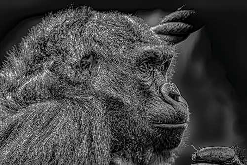 Gorilla Female Melancholic Silverback Nature