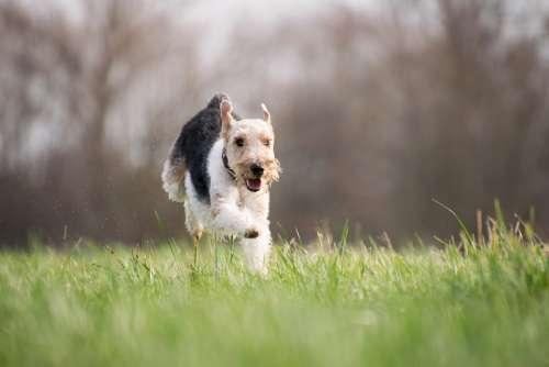 Grass Dog Mammal Animal Nature Terrier Running