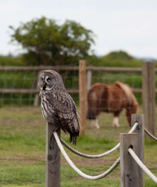 Great Gray Owl Owl On Post Owl Gray Owl Hunter