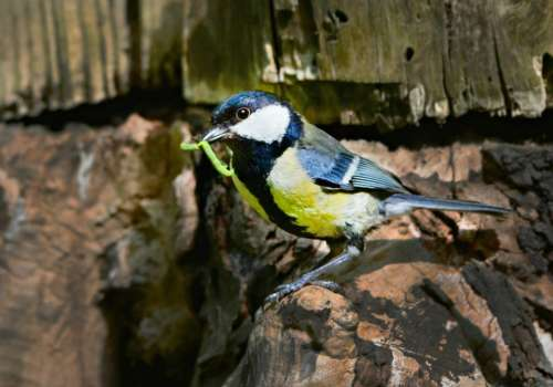 Great Tit Song Bird Animal Feather Plumage Beak