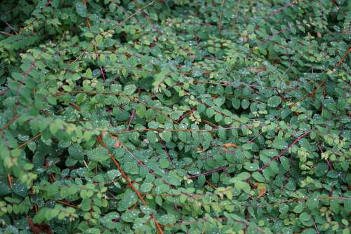 Ground Cover Plant Bed Garden Green Leaves