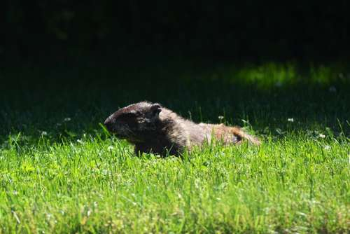 Groundhog Nature Animal Fur Rodent Marmot Cute