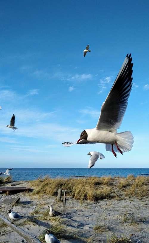 Gulls Baltic Sea Zingst Gull Bird Water Beach