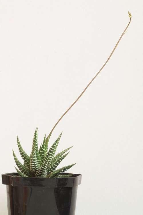 Haworthia Cacti Cactus Succulent Plant Minimalism