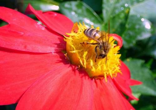 Honey Bee Bee Honey Insect Nectar Pollen Animal