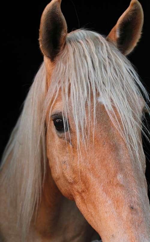 Horse Animal Equine Equestrian Mane Stallion