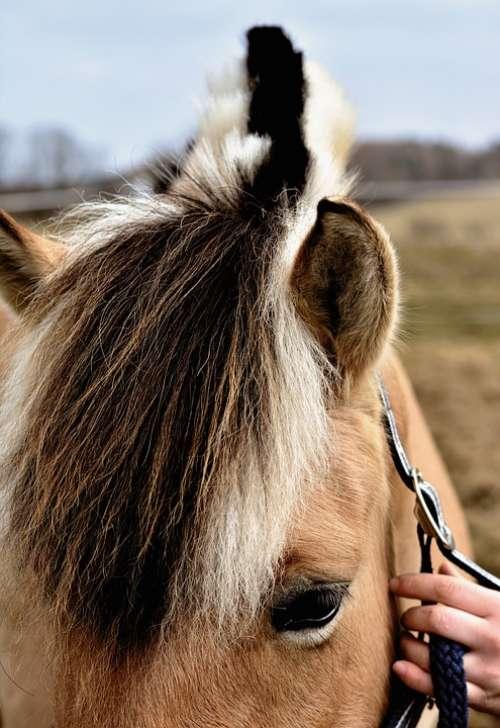 Horse Mane Norwegian Fjord Horse Halter Keep