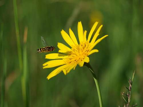 Hoverfly Insect Nature Blossom Bloom Macro Animal