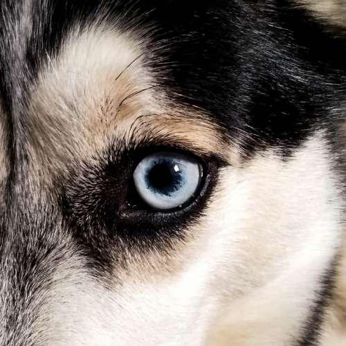 Husky Eye Dog Eyes Animals Portrait Fur Breed