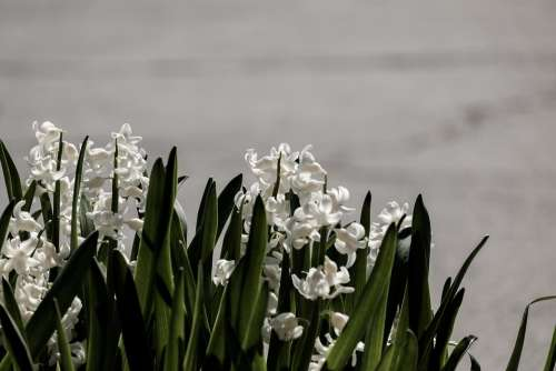 Hyacinth Flower Nature Spring Flowers Deco