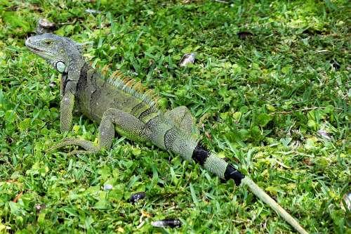 Iguana Lizard Green Closeup Scales Spurs Eyes