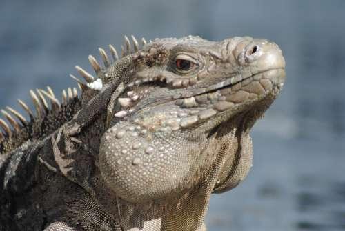 Iguana Caribbean Vacation Cayman Islands Reptile