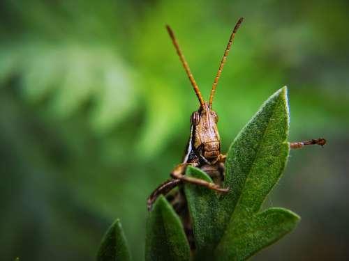 Insect Grasshopper Bug Plant Locust Garden Pest