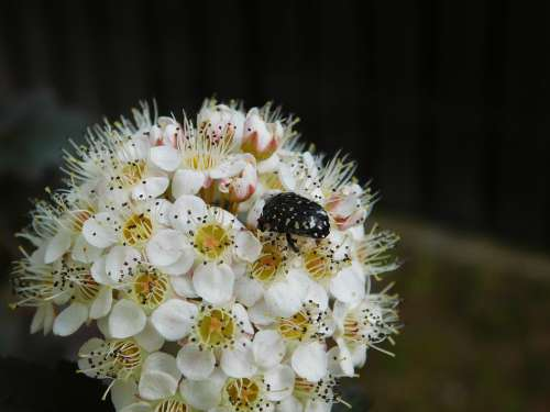 Insect Beetle The Beetle The Environment Flower