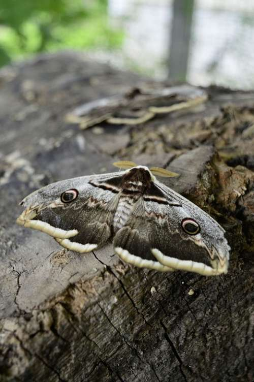 Insect Butterfly Moth Wiener Nachtpfauenauge Nature