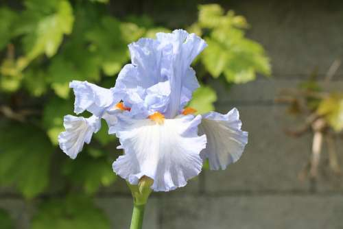 Iris Blue Bulb Flower Nature Garden
