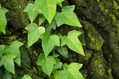 Ivy Hedera Green Foliage Leaf Spring Creeper