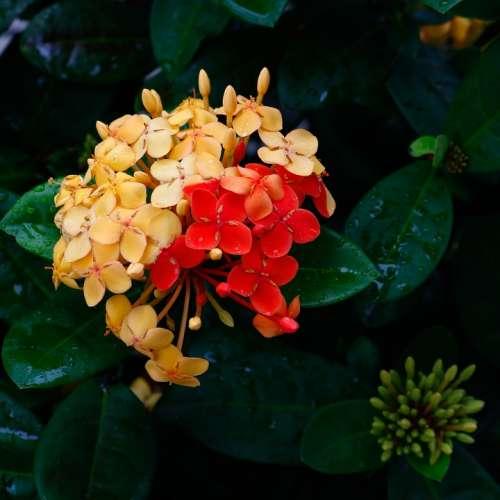 Ixoria Bicolor Mutant Flower Garden