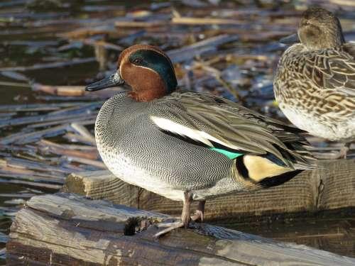 Japan Natural Landscape Animal Wild Birds Teal