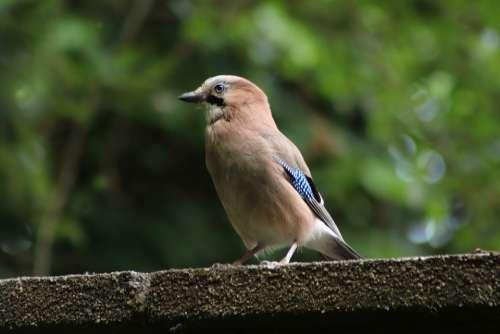 Jay Bird Plumage Songbird Garrulus Glandarius