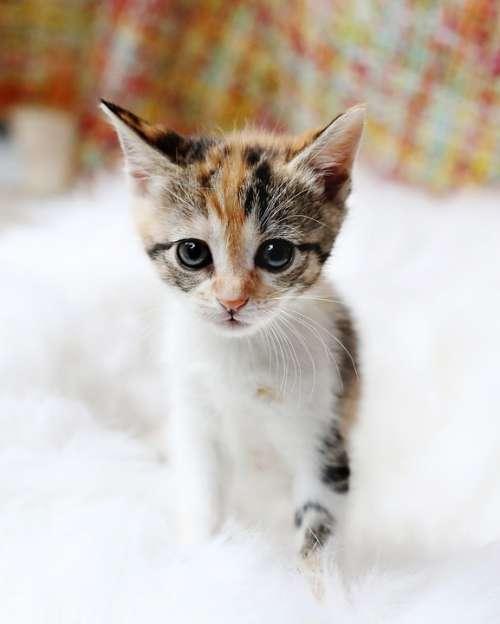 Kitten Cute Cat Animal Fur Pet Domestic Staring