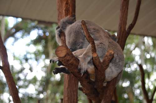 Koala Australia Brisbane Queensland Sanctuary Cute