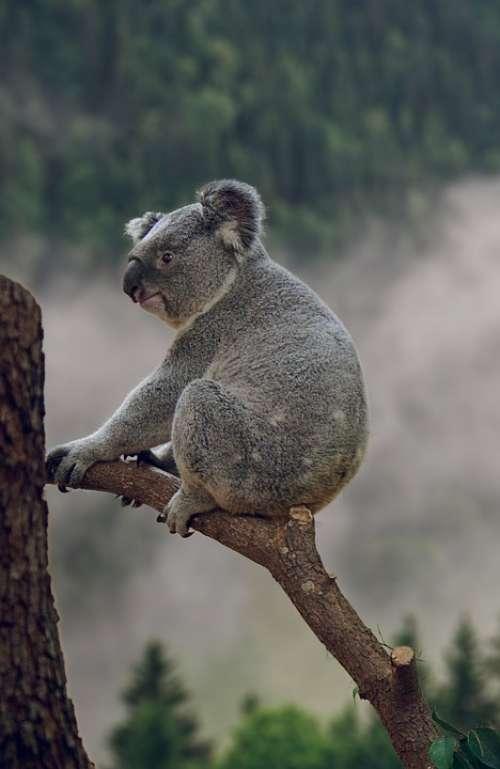 Koala Phascolarctos Cinereus Bear Animal Nature