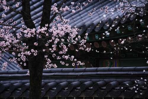 Korea Traditional Tree Roofs Blossom Pink Flowers
