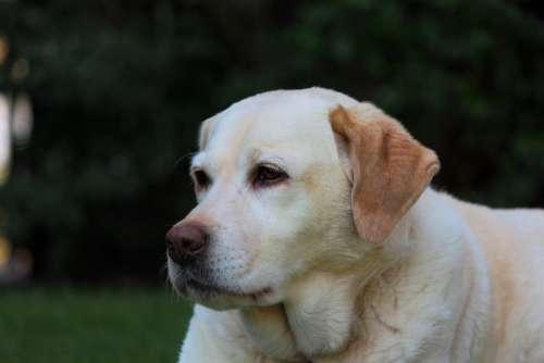Labrador Yellow Retriever Dog Pet Portrait