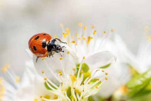 Ladybug Insect Blossom Bloom Macro Leaf Spring